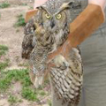Great-horned owl released in South Windsor, CT.