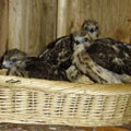 Red-shouldered hawks at approximately two weeks old..