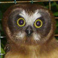 Juvenile saw-whet owl ready for release.